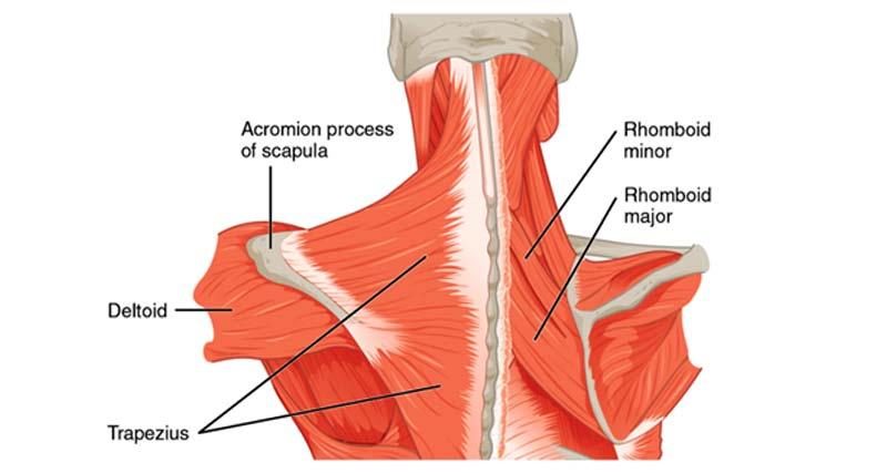 Боли в Трапециевидных мышцах